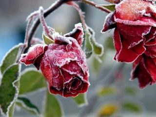 Роза в снегу авторское стихотворение Александра Харина